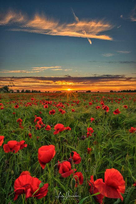 Poppies & Barley Milton Cambridge