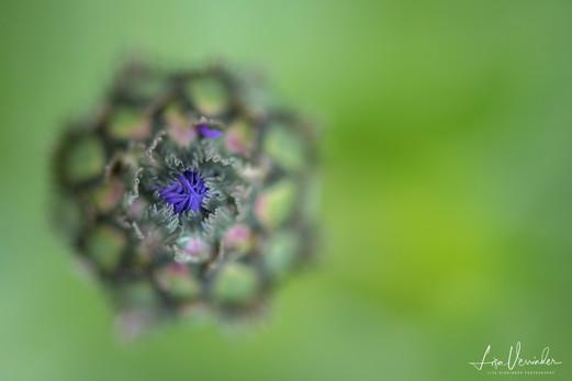 Macro Study of Cornflower Bud