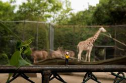 Hagenbeck-Giraffen