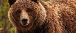 grizzly-bear-mnagivqrb7yd3vuuqsp5sxofq70