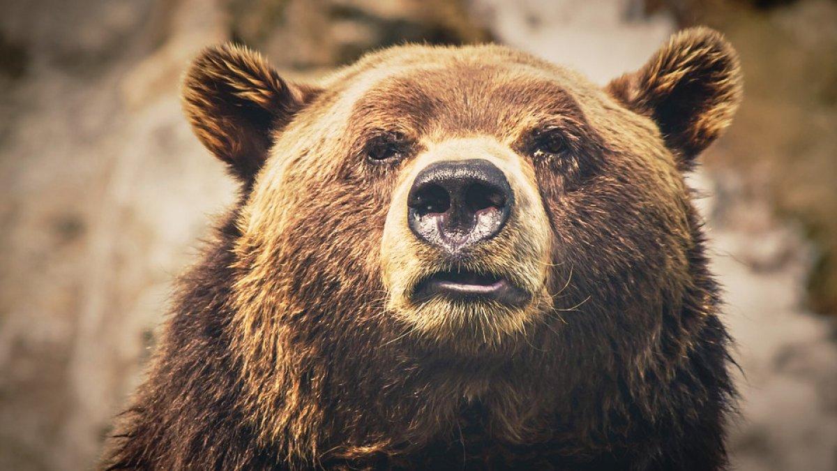 spain-bears_h