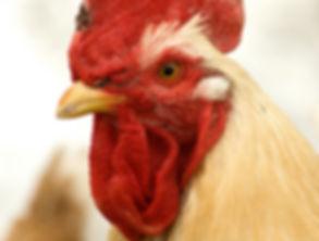 Coq adulte
