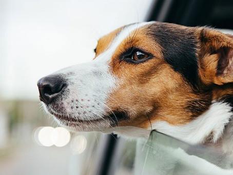 Entenda sobre o transporte de animais domésticos.