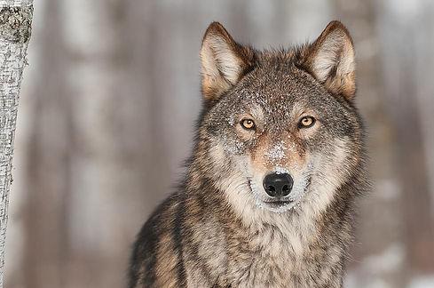 wolf for GT teams 11.20.19.jpg