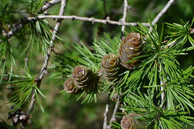 tamarack branch 1-1.jpg