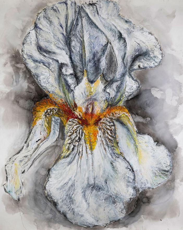 'German Bearded iris'