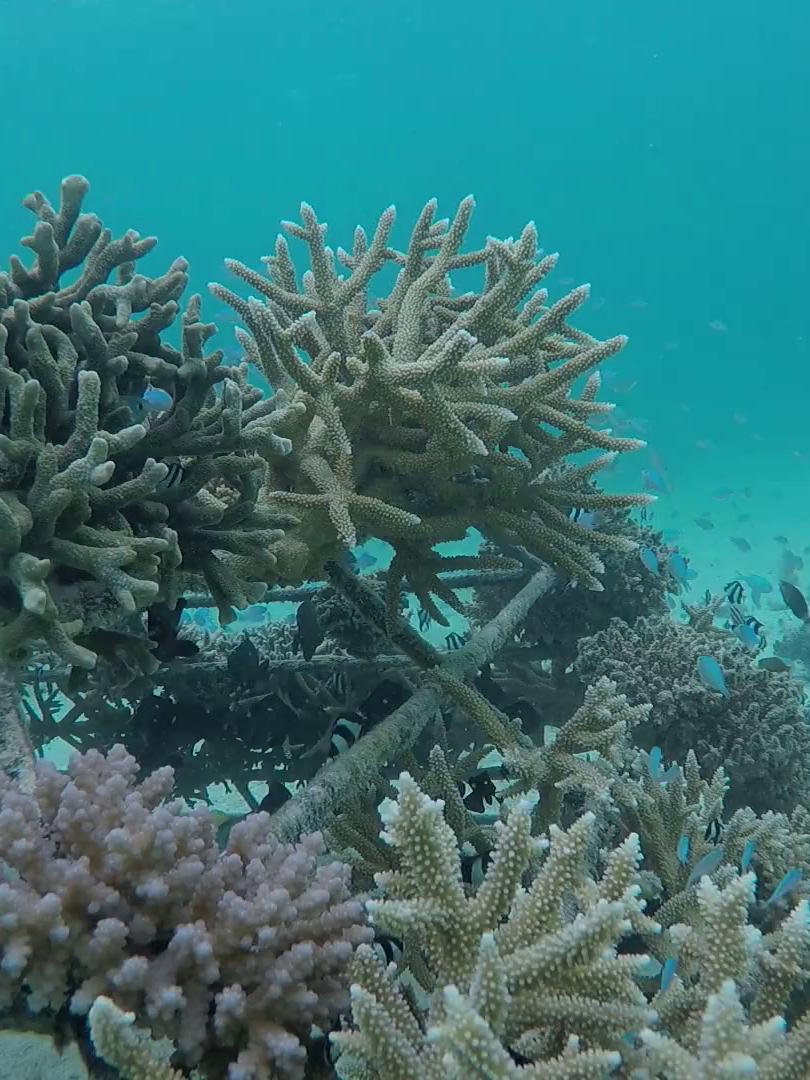 maafushi coral project.png