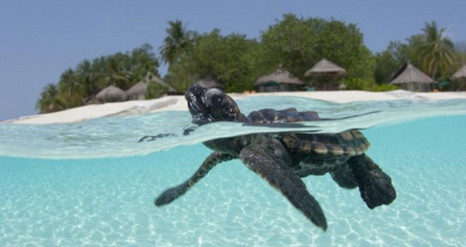Save Maldives Turtles