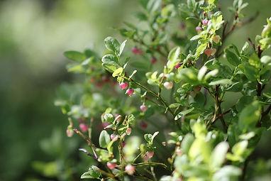 METTA_Finnish_Forest_Bilberry_WEB_1024x1024.jpg
