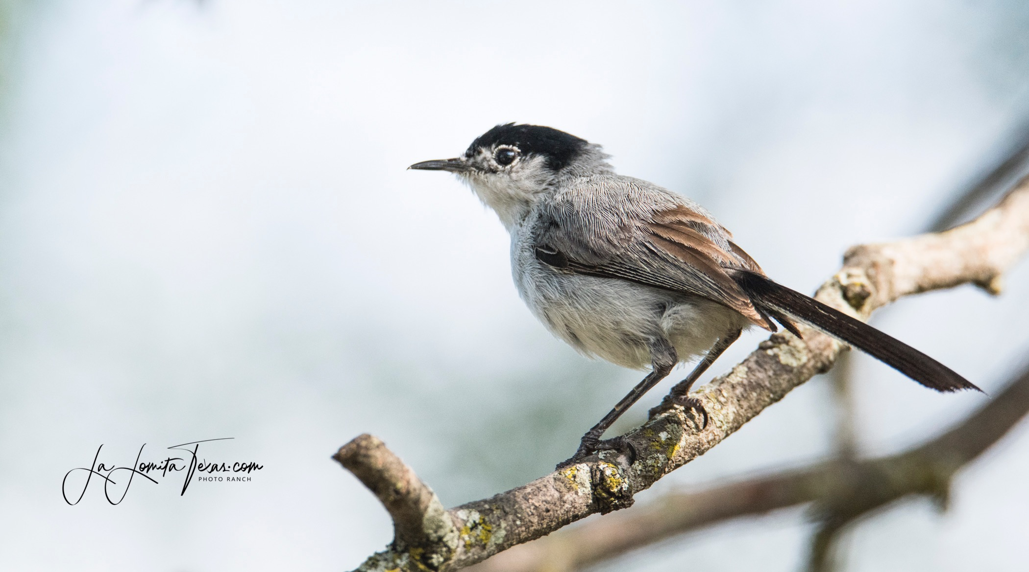 Black-tailed%20Gnatcatcher%20LL_edited