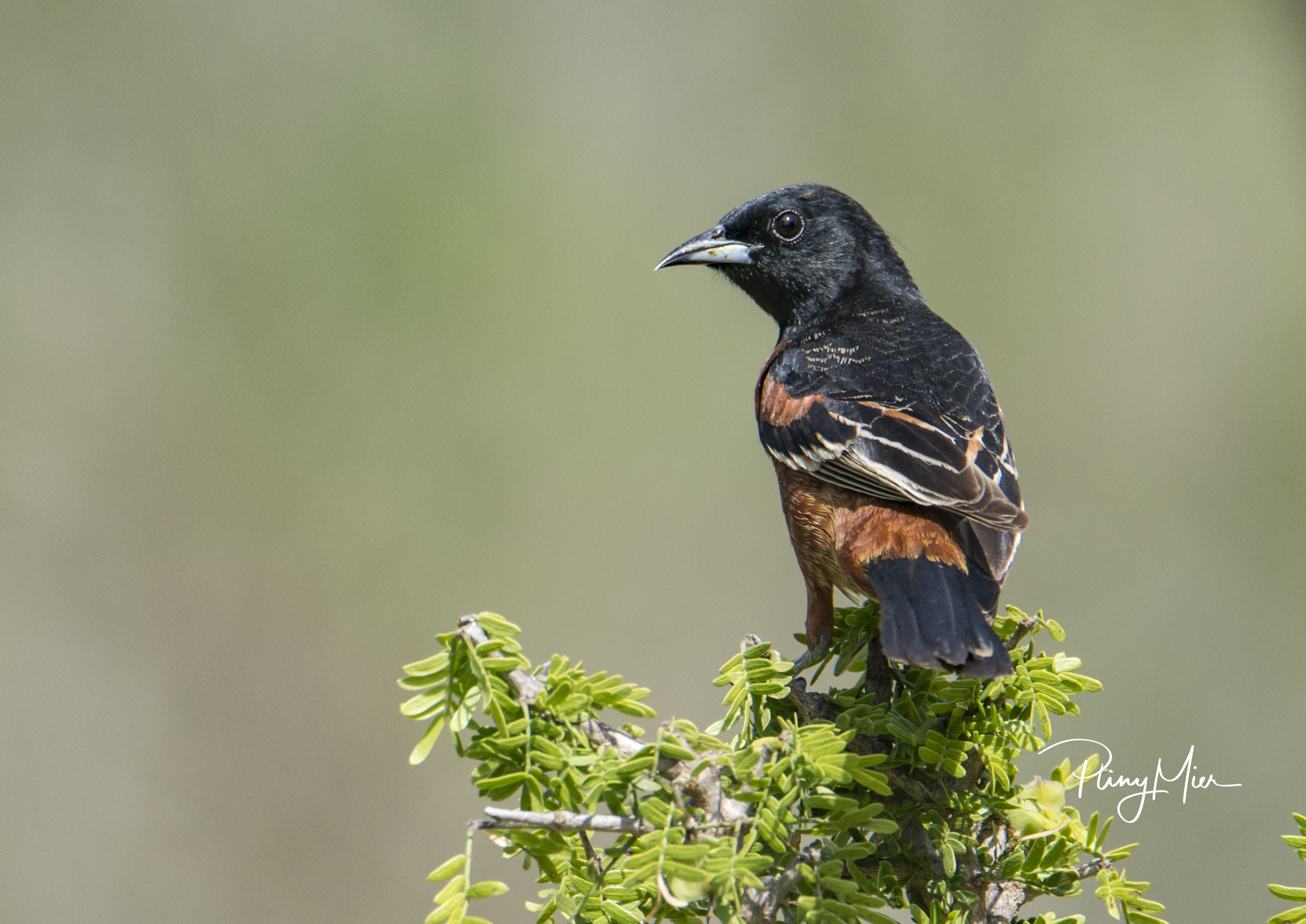 Orchard Oriole male LL