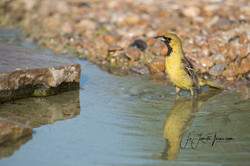 Orchard Oriole LL-3