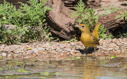 Summer Tanager female 4 LL