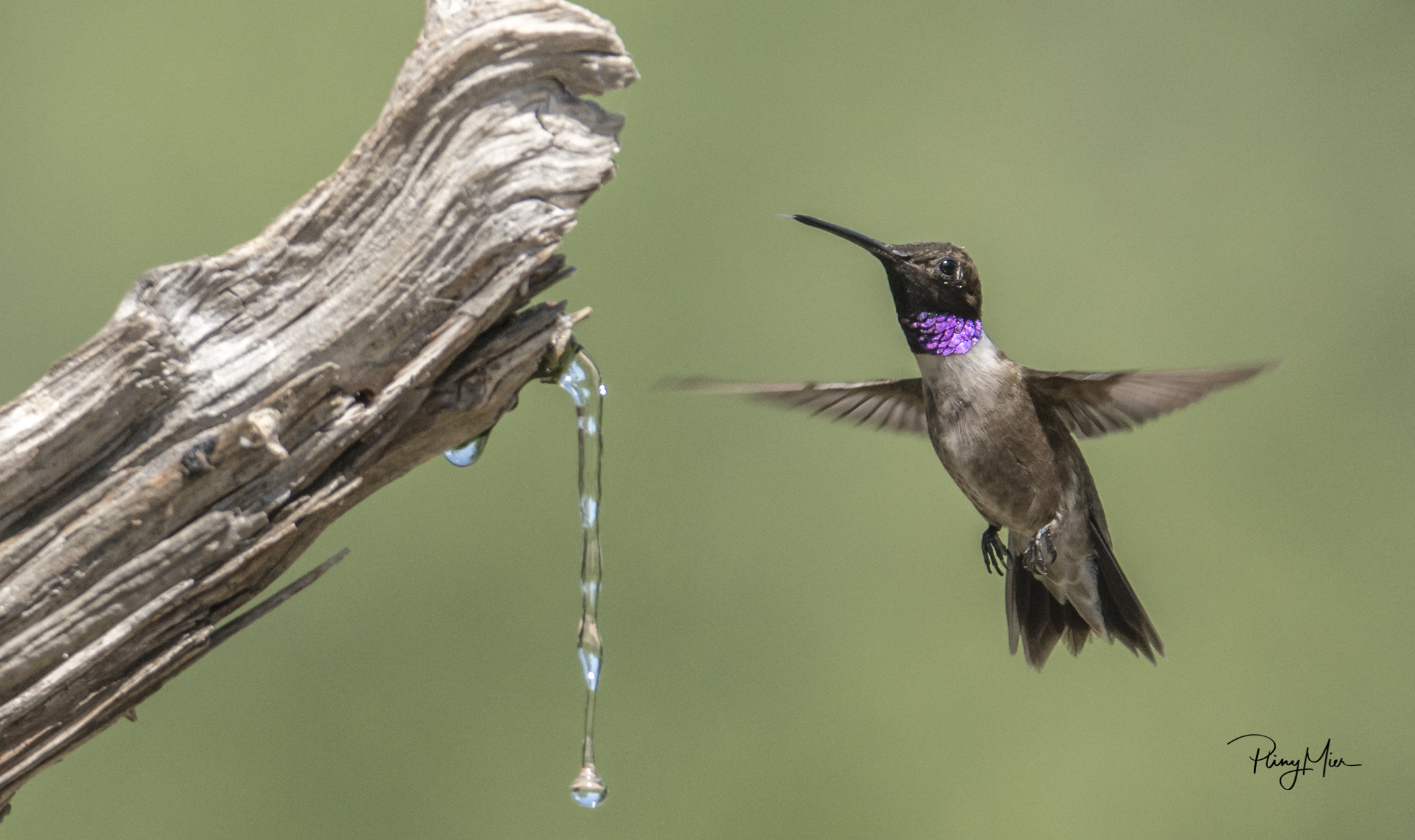 Black-chinned Hummer LL