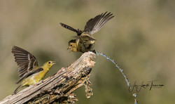 Lesser Goldfinches LL