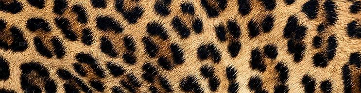 leopard bande.jpg