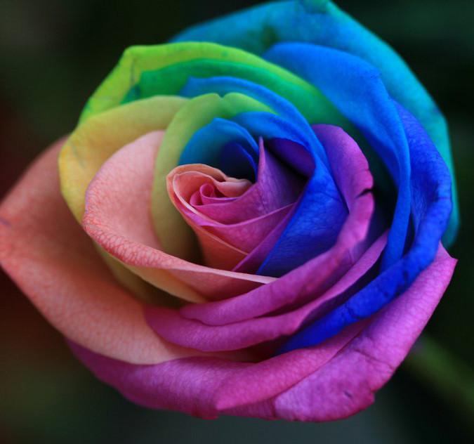 Rose-by-INTVGene