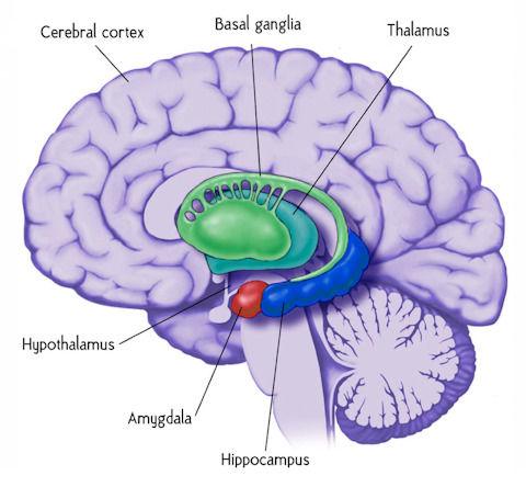 amygdala_hippocampus_480x444.jpg