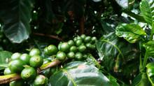 Life Monteverde, café y educación en producción sostenible.