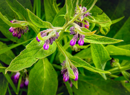 Get to know Comfrey Infused
