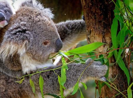 05   Eucalyptus Blue Gum
