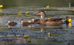 Wood duck and her babies