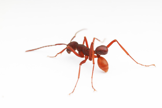 Army Ant Taxi Service