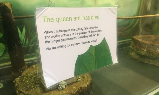 Museum posts 'queen has died' notice to explain vanished ant colony