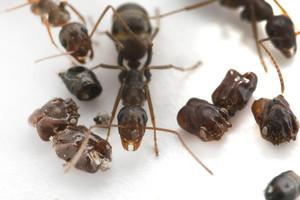 Morbid Ants