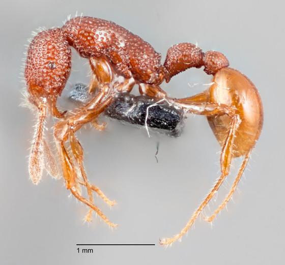 T. Rex Ant
