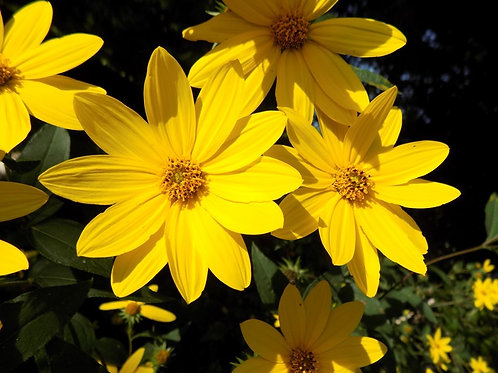 Helianthus divaricatus (Woodland Sunflower)