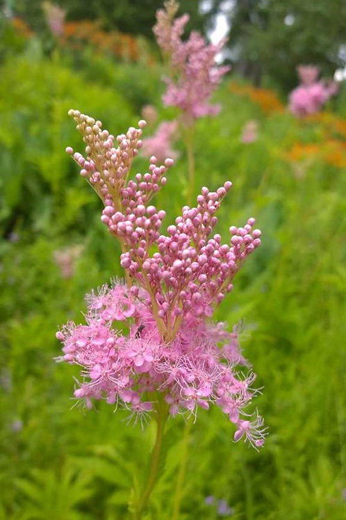 Filipendula rubra (queen of the prairie)