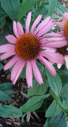 bee on coneflower.jpg