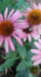 bee on coneflower.jpg