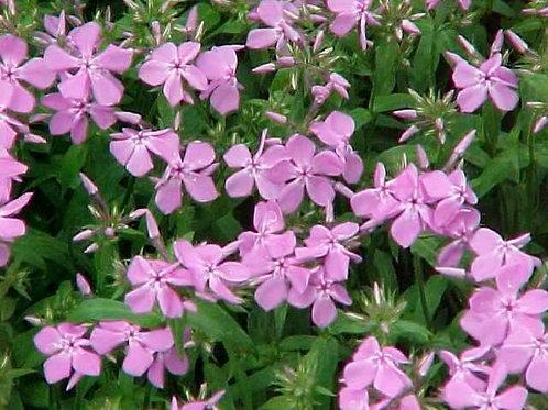 Phlox pilosa subsp. ozarkana (Ozark Phlox)