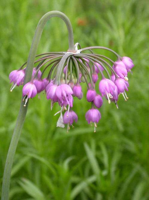 Allium cernuum (nodding onion)