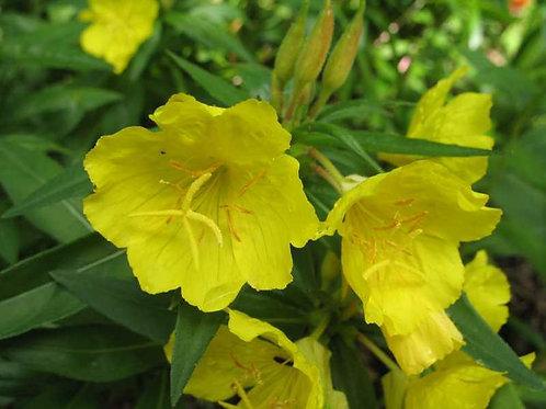 Oenothera fruticosa 'Fyrverkeri' (yellow primrose)
