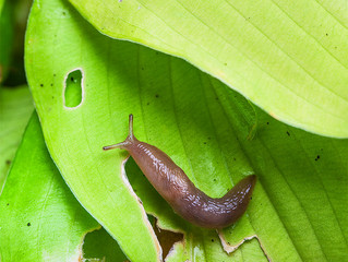 Notes from a Musky Trail Hiker #1: A Plug for Slugs