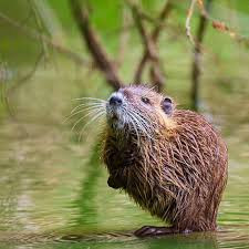 NOTES FROM A MUSKY TRAIL HIKER #3: Muskrat Suzie