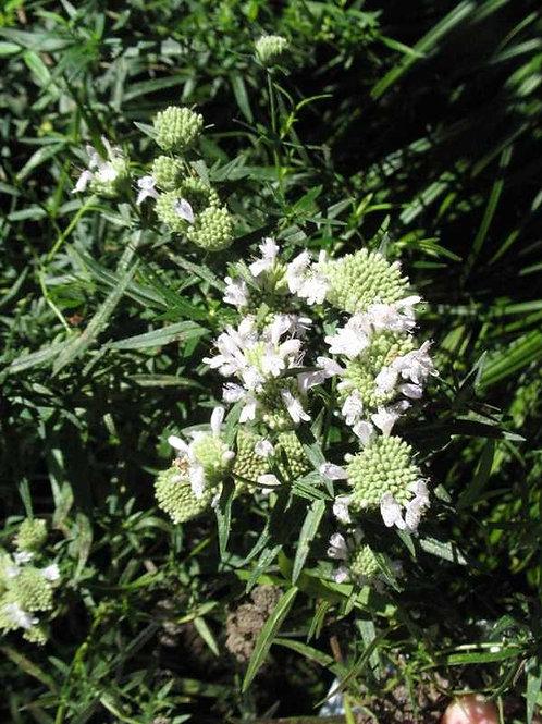 Pycnanthemum pilosum (American mountain mint)