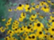 black eyed susan native garden.JPG