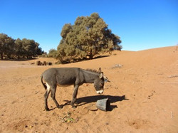 Desert Donkey at Erg Ezahar