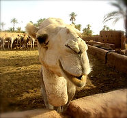 Happy Camels at Dar Sidi Bounou