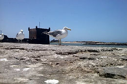 Seagulls on the seawall in Essaouira