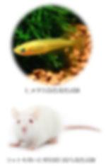 ヒメダカとラット 1.jpg