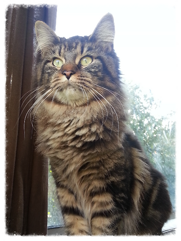 Chat Maine-Coon Femelles Chatterie Geneve Adoption Chatons