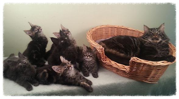 Pré des Coons chaton Maine Coon