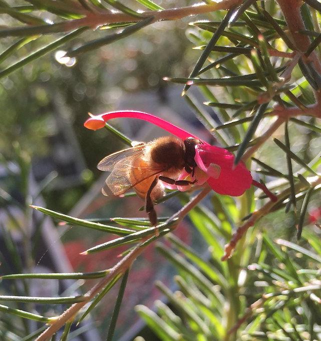Aumans Bee.jpg
