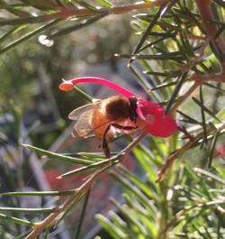 Aumans Bee