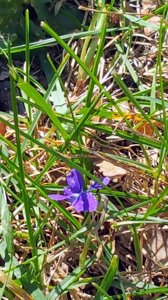 October violet at the Truman Home. Bess loved her violets.